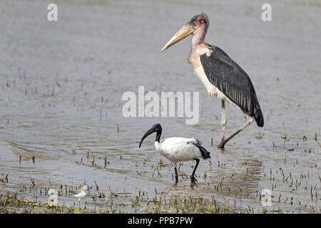 Marabou stork, Leptoptilos crumenifer with Sacred Ibis, Threskiornis aethiopicus, & Common Sandpiper, Actitis hypoleucos, Lake Ziway, Ethiopia - Stock Photo