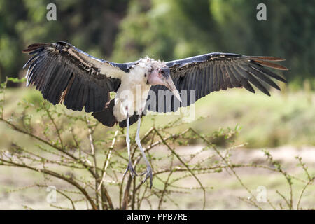 Marabou stork, Leptoptilos crumenifer, Lake Ziway, Ethiopia - Stock Photo