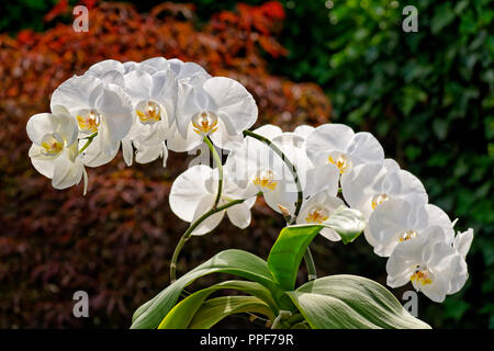 White Orchid Flowers sometimes called 'Moth' orchid. Phalaenopsis hybrid. - Stock Photo