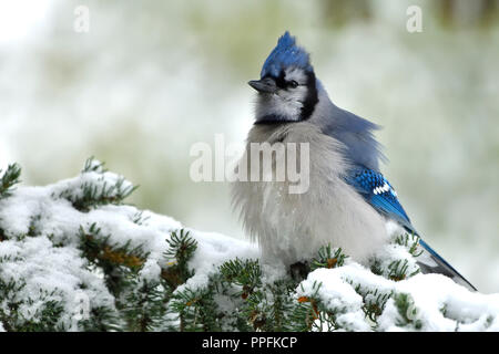 An eastern Blue Jay ( Cyanocitta cristata), perched on a spruce tree branch in the first autymn snow in Alberta Canada. - Stock Photo