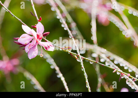 gaura lindheimeri (Lindheimer´s Beeblossom) - Oenothera lindheimeri Siskiyou Pink - pink flowers of gaura with water drops in the morning garden - Stock Photo