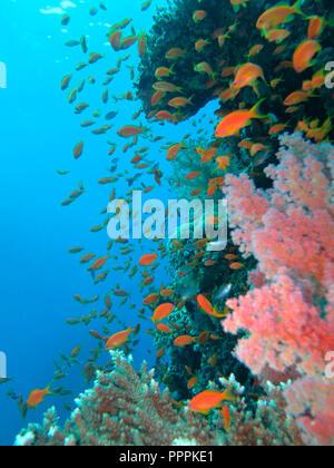 Juwelen-Fahnenbarsche (Pseudanthias squamipinnis), Korallenriff, St. Johns Riff, Rotes Meer, Aegypten - Stock Photo