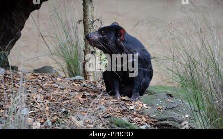 Tamanian devil (Sarcophilus harrisii) on the ground. Rare predator living only in Tasmania Australia. - Stock Photo