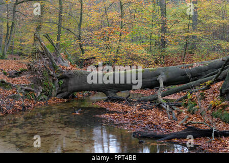Rotbach, creek in beech forest, november, Oberhausen, Germany - Stock Photo