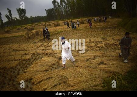 Pulwama, Kashmir, India. 27th Sep, 2018. Kashmiri people run in paddy field to participate in the funeral procession of slain rebel, Irfan Ahmad at his native village in Pulwama district of Indian-Administered-Kashmir on Thurday, September 27, 2018. Irfan Ahmad was killed in an encounter between rebels and Indian forces at Panzan Chadoora in Budgam district. Three rebels, two civilians and a police personnel were killed in two seperate gunfights and a search operation in Kashmir on Thursday. (Credit Image: © Sanna Irshad MattooZUMA Wire) - Stock Photo