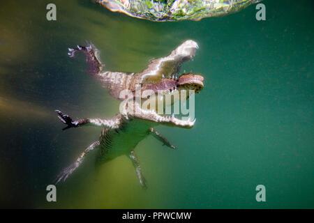 Juvenile American Crocodile, Crocodylus acutus, Florida, Everglades, USA - Stock Photo