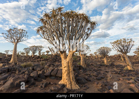Quiver trees (kokerboom) (Aloidendron dichotomum) (formerly Aloe dichotoma), Quiver Tree Forest, Keetmanshoop, Namibia, Africa - Stock Photo
