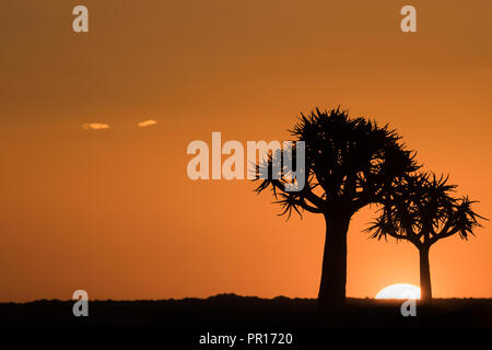 Quiver trees at sunset (kokerboom) (Aloidendron dichotomum) (formerly Aloe dichotoma), Quiver Tree Forest, Keetmanshoop, Namibia, Africa - Stock Photo