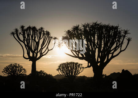 Quiver trees at sunrise (kokerboom) (Aloidendron dichotomum) (formerly Aloe dichotoma), Quiver Tree Forest, Keetmanshoop, Namibia, Africa - Stock Photo