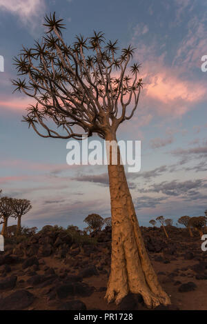 Quiver tree in twilight (kokerboom) (Aloidendron dichotomum), (formerly Aloe dichotoma), Quiver Tree Forest, Keetmanshoop, Namibia, Africa - Stock Photo