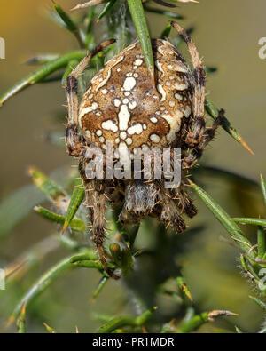 Garden Spider (Araneus diadematus) sitting in gorse bush. Tipperary, Ireland - Stock Photo