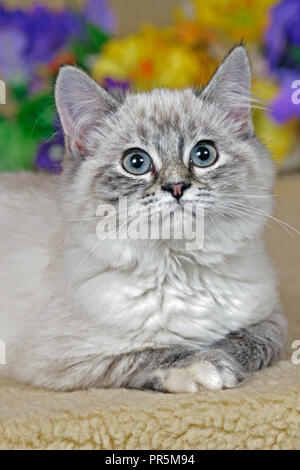 Adorable Kitten gray tabby sitting among flowers, looking up - Stock Photo