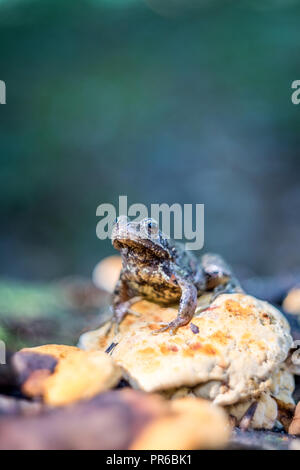 The common frog (Rana temporaria) on stump with yellow fungus wildlife photography - Stock Photo