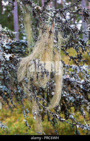 Beard lichen on branches in woods - Stock Photo