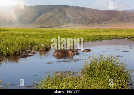 Hippo pool in Ngorongoro crater, Tanzania, Africa, Safari. - Stock Photo