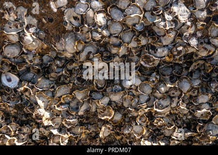 Oyster Shell carcass stuck on rocks background - Stock Photo