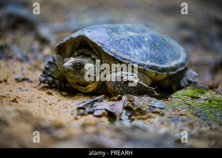 A young snapping turtle scuttles across the path of trail number 1 at the Jackson-Washington State Forest just outside of Brownstown, IN, USA. - Stock Photo