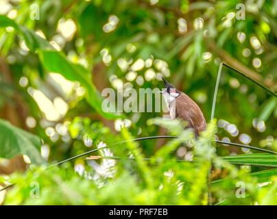 Indian paradise flycatcher in sunny vegetation - Stock Photo