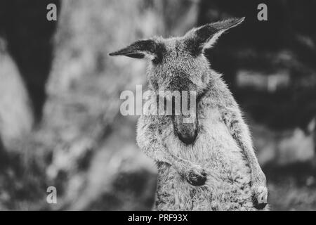 Black and White Photo of an Eastern Grey Kangaroo Scratching, Australia - Stock Photo