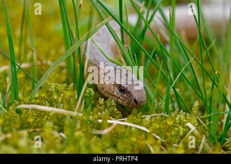 close up of slow worm Anguis fragilis on moss in a forest - Stock Photo