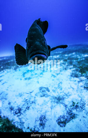 A Grouper near the anchor - Stock Photo