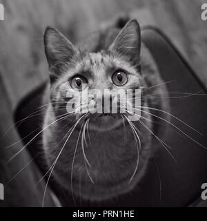 Cute tabby cat looking curious up to the camera. Black and white portrait. - Stock Photo