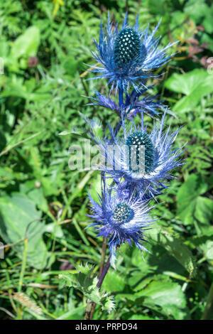 Eryngium alpinum , alpine sea holly, alpine eryngo or queen of the Alps plant - Stock Photo