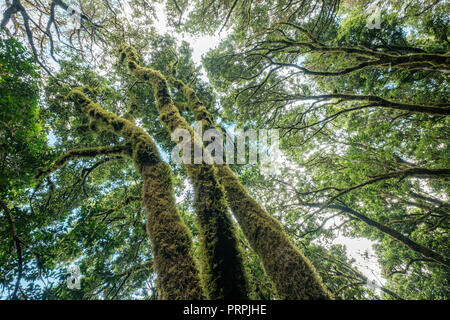 Evergreen laurel forest. Trees covered with moss and lichen, Anaga Rural Park in the northeast of Tenerife Canary Islands Spain - Stock Photo