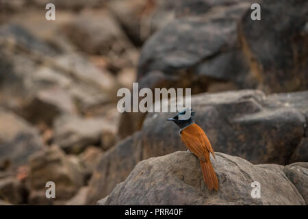 Indian paradise flycatcher, Terpsiphone paradisi, in the nature habitat, ranthambore National Park, India. Beautiful bird with long tail in sitting on - Stock Photo