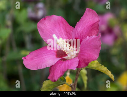 Hibiscus syriacus 'Woodbridge' (AKA Rose of Sharon 'Woodbridge', Rose Mallow, Tree Hollyhock) upright deciduous shrub with pink flowers, in Autumn, UK - Stock Photo
