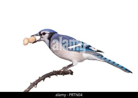 A bluejay eats a peanut while perched on a branch, white background. - Stock Photo