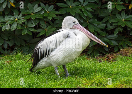 Australian pelican (Pelecanus conspicillatus) native to Australia and New Guinea - Stock Photo