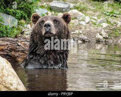 Grizzly bear swimming in the water and posing to my camera, Vancouver, Canada - Stock Photo