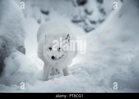 Winter landscape with white polar fox or alopex lagopus in its natural habitat on real snow background. Animal is looking straight into camera. Select - Stock Photo