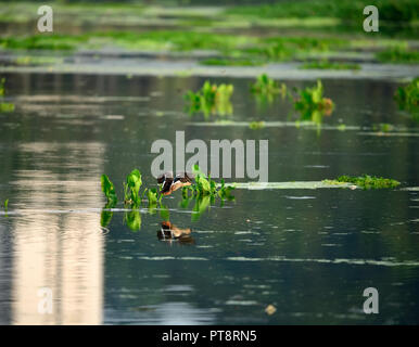 The Indian spot-billed duck is a large dabbling duck which is a non-migratory breeding duck throughout freshwater wetlands in the Indian subcontinent. - Stock Photo