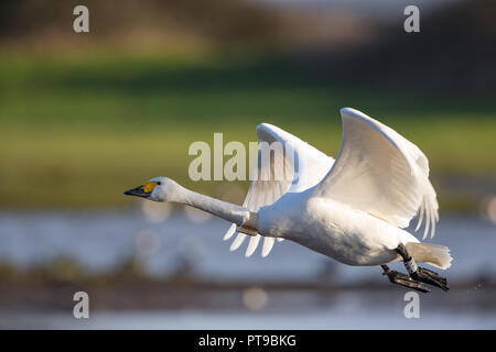 Detailed side view close up of wild isolated Bewick's swan (Cygnus colombianus UK) GPS tracker fitted to neck, taking off over water, wings up in sun. - Stock Photo
