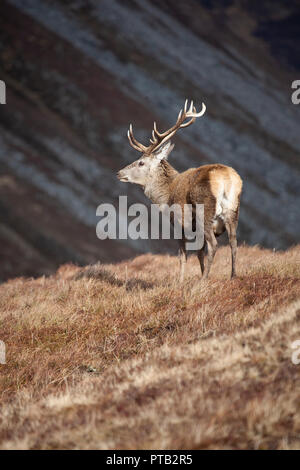 Red Deer stag Cervus elaphus with large antlers in the Scottish Highlands on a bleak and wet winter day - Stock Photo
