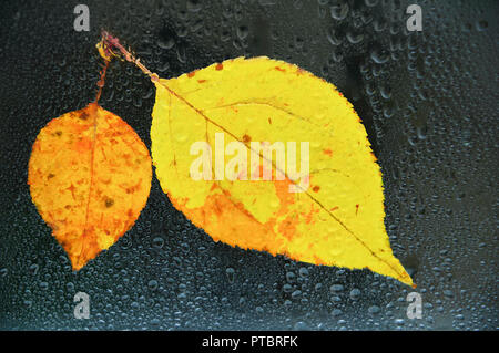 Autumn yellow leaves on wet glass in drops of water. Close-up - Stock Photo