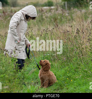 A young cockapoo puppy sitting in a field waiting to get a treat from its female owner. - Stock Photo