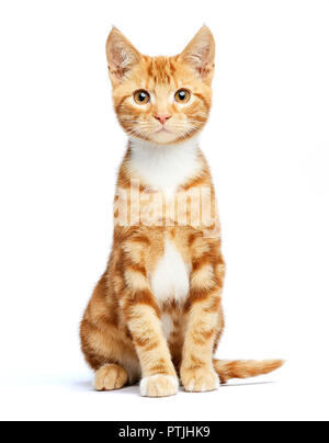 Adorable ginger red tabby kitten sitting, curious and isolated on white background. - Stock Photo
