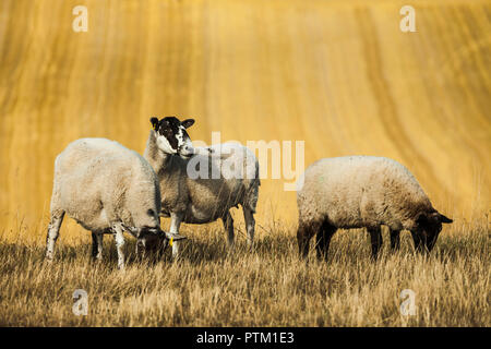 Sheep grazing in South Downs National Park. - Stock Photo