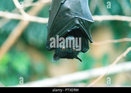 The large flying fox (Pteropus vampyrus), also known as the greater flying fox, Malayan flying fox - Stock Photo