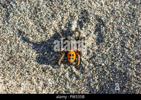 Eresus or ladybug - a poisonous spider with four dots on a red or orange back - Stock Photo