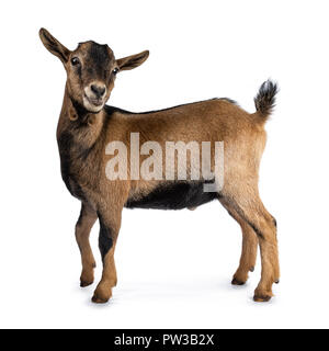 Brown agouti pygmy goat standing side ways with head turned and looking to camera, isolated on white background - Stock Photo