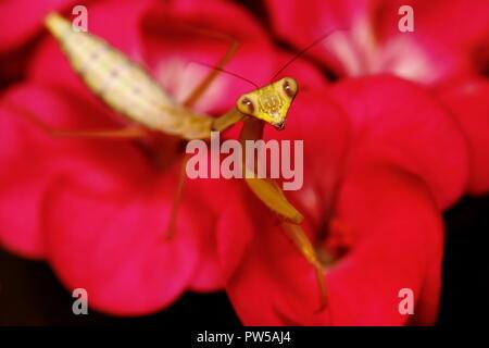 Praying mantis Hierodula venosa giant asian mantis - Stock Photo