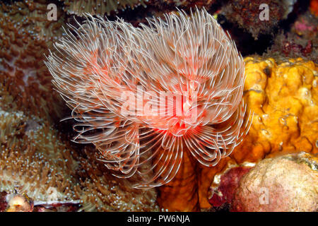 Magnificent Tube Worm, Protula bispiralis, previously Protula magnifica.Tulamben, Bali, Indonesia. Bali Sea, Indian Ocean - Stock Photo