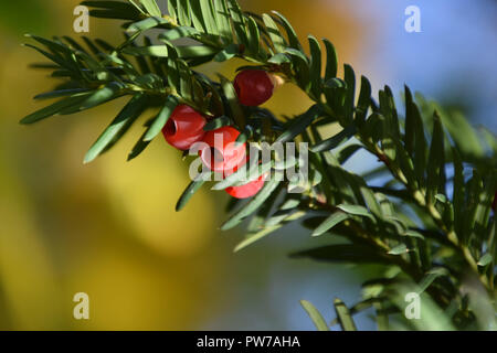 european yew with mature cones, taxus baccata tree with spirally arranged mature red cones - Stock Photo