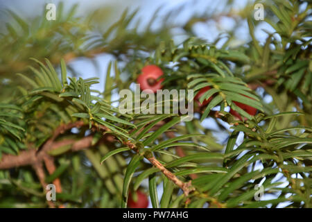taxus baccata tree with spirally arranged mature red cones, european yew in autumn - Stock Photo