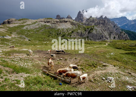 Cows on a green meadow in front of dramatic mountain peaks in the Dolomites in Italy - Stock Photo
