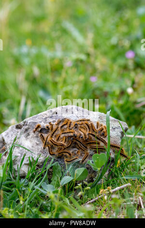 Close-up of colony of brown furry caterpillars, probably in an act of breeding and reproduction, gathered on grey granite stone in a spring day at a g - Stock Photo